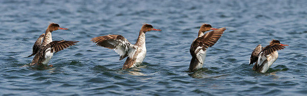 Multiple exposures of a Common Merganser, flapping her wings.